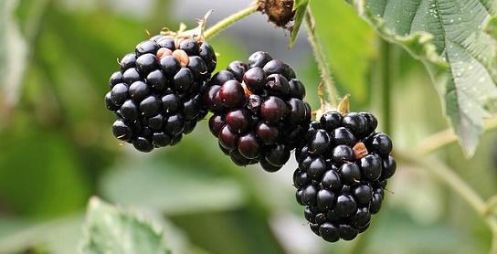 body_blackberry