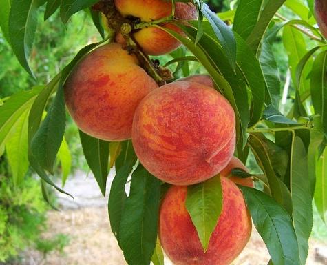 body_peach