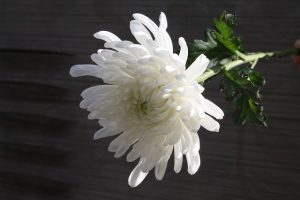 chrysanthemum-1628511_640